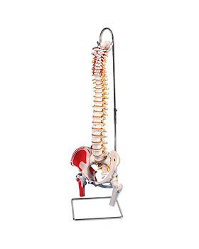 Bemalte klassische flexible Wirbelsäule, mit beweglichen Oberschenkelstümpfen, ohne Stativ, 3B Scientific, medishop.de