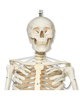 Das Funktionelle Skelett auf Hängestativ, Sondermodell, 3B Scientific, medishop.de