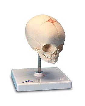 Fetus-Schädel, auf Stativ, 3B Scientific, medishop.de