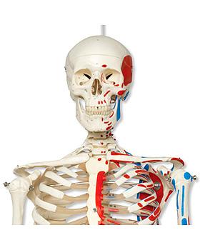 Klassik-Skelett Max, Muskeldarstellung, auf Hängestativ mit Bremse, 3B Scientific, medishop.de