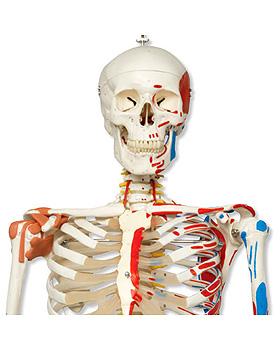 Luxus-Skelett Sam, auf 5-Fuß-Rollenstativ mit Bremse, 3B Scientific, medishop.de