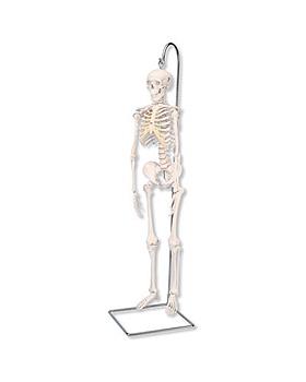 Mini-Skelett Shorty auf Hängestativ, 3B Scientific, medishop.de