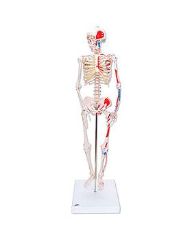 Mini-Skelett Shorty mit Muskelbemalung auf Sockel, 3B Scientific, medishop.de