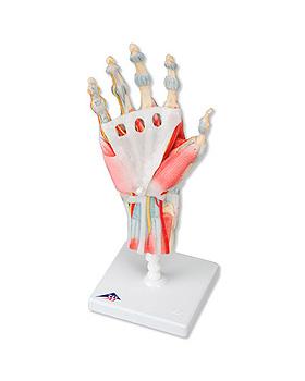 Modell des Handskeletts mit Bändern und Muskeln, 4-teilig, 3B Scientific, medishop.de