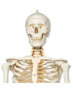 Luxus-Skelett Fred, auf 5-Fuß-Rollenstativ, mit Bremse, 3B Scientific, medishop.de