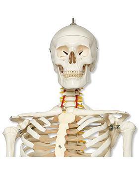 Luxus-Skelett Fred, 5-Fuß-Rollenstativ, mit Bremse (1Hand und 1Fuß elastisch), 3B Scientific, medishop.de