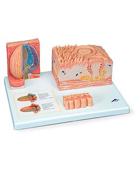 3B MICROanatomy Zunge, 3B Scientific, medishop.de
