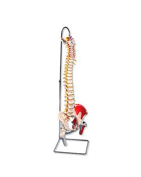 Flexible Wirbelsäule, mit Hirnstamm, und weiteren Details, ohne Stativ, 3B Scientific, medishop.de