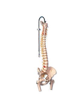 Flexible Wirbelsäule für starke Beanspruchung, mit Oberschenkelstümpfen, o. Stativ, 3B Scientific, medishop.de