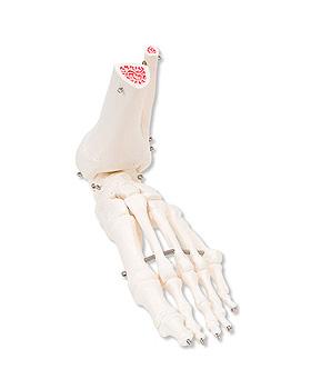 Fußskelett, mit Schienbein- und Wadenbeinstumpf, auf Draht gezogen, links, 3B Scientific, medishop.de