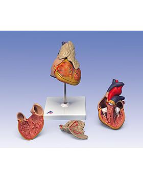 Klassik-Herz mit Thymus, 3-teilig, 3B Scientific, medishop.de