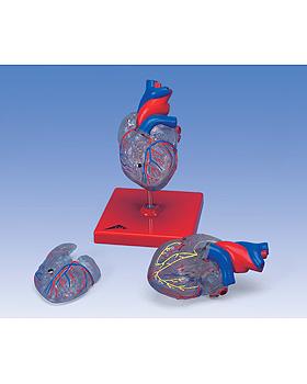 Klassisches Herz mit Reizleitungssystem, 2 teilig, 3B Scientific, medishop.de