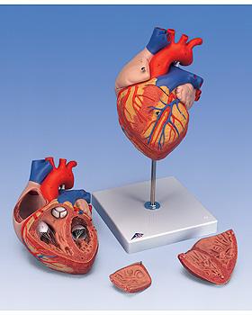 3B Scientific Riesen-Herz, 2-fache Größe, 4-teilig, 3B Scientific, medishop.de