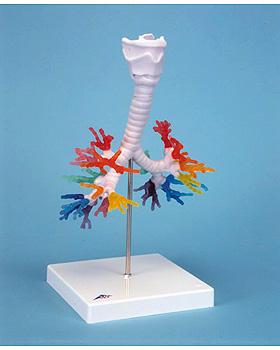 CT-Bronchialbaum mit Kehlkopf, 3B Scientific, medishop.de