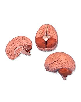 Einsteiger-Gehirn, 2-teilig, 3B Scientific, medishop.de