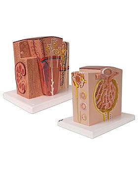 3B MICROanatomy Niere, 3B Scientific, medishop.de