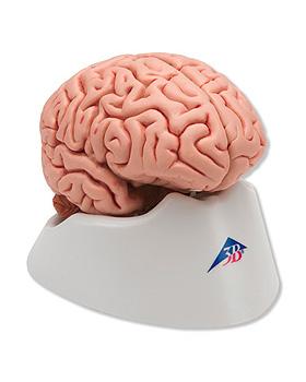 Klassik-Gehirn, 5-teilig, 3B Scientific, medishop.de
