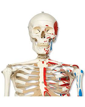 Klassik-Skelett Max, Muskeldarstellung, auf 5-Fuß-Rollenstativ mit Bremse, 3B Scientific, medishop.de