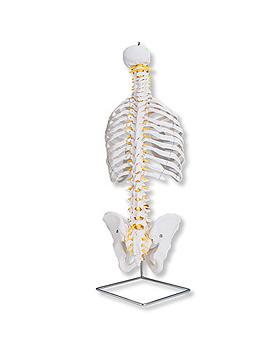 Klassische flexible Wirbelsäule, mit Brustkorb, ohne Stativ, 3B Scientific, medishop.de