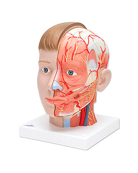 Kopf mit Hals, 4-teilig, 3B Scientific, medishop.de