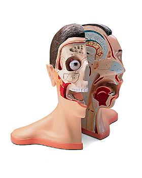 Kopf und Nacken, 5-teilig, 3B Scientific, medishop.de