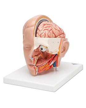 Kopfmodell, 3-teilig, 3B Scientific, medishop.de