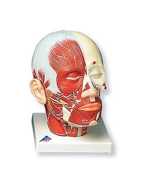 Kopfmuskulatur mit Nerven, 3B Scientific, medishop.de