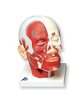Kopfmuskulatur, 3B Scientific, medishop.de
