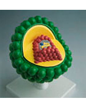 AIDS-Virus, 3B Scientific, medishop.de
