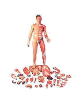 Lebensgroße zweigeschlechtige Muskelfigur, asiatisch, 39-teilig, 3B Scientific, medishop.de