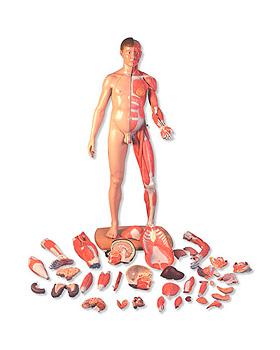 Lebensgroße zweigeschlechtige Muskelfigur, europäisch, 39-teilig, 3B Scientific, medishop.de