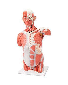 Lebensgroßer Muskel-Torso, 27-teilig, 3B Scientific, medishop.de