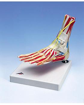 Luxus-Fuß mit Knöchel, 3B Scientific, medishop.de