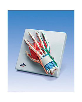 Luxus-Hand mit Handgelenk, 3B Scientific, medishop.de