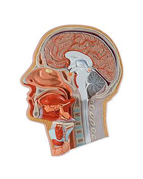 Medianschnitt des Kopfes, 5-teilig, 3B Scientific, medishop.de