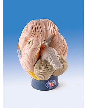 Modell der Gehirnregionen, 4-teilig, 3B Scientific, medishop.de