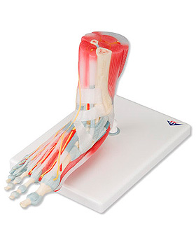 Modell des Fußskeletts mit Bändern und Muskeln, 6-teilig, 3B Scientific, medishop.de