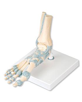 Modell des Fußskeletts mit Bändern, 7-teilig, 3B Scientific, medishop.de