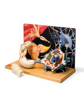 Motoneuron-Diorama, 3B Scientific, medishop.de