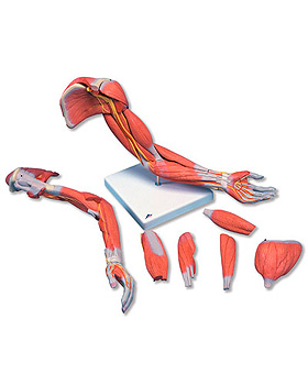 Muskelarm 2, 6-teilig, 3B Scientific, medishop.de