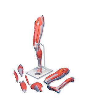 Muskelbein, 7-teilig, 3B Scientific, medishop.de