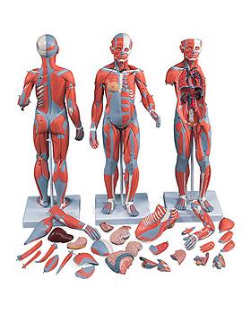 Muskelfigur weiblich, 21-teilig, 3B Scientific, medishop.de
