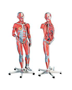 Luxus-Muskelfigur, zweigeschlechtig, 45-teilig, 3B Scientific, medishop.de
