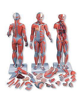 Muskelfigur, zweigeschlechtig mit inneren Organen, 33-teilig, 3B Scientific, medishop.de
