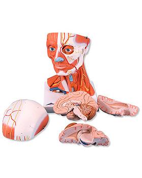 Muskelkopf, 5-teilig, 3B Scientific, medishop.de