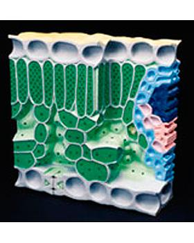 Blattstruktur, Blockmodell, 3B Scientific, medishop.de