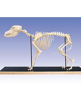 Hundeskelett auf Holzsockel, 3B Scientific, medishop.de