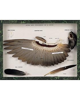 Flügel und Federn einer Taube, 3B Scientific, medishop.de