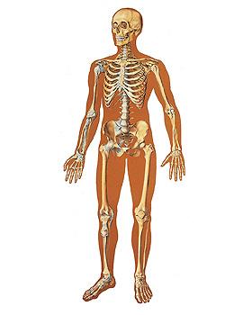 Das menschliche Skelett, Vorderseite, Wandkarte 84 x 200cm, ohne Holzbestäbung, 3B Scientific, medishop.de