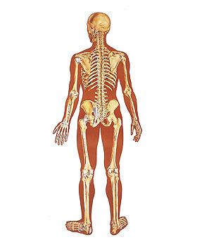 Das menschliche Skelett, Rückseite, Wandkarte 84 x 200cm, mit Holzbestäbung, 3B Scientific, medishop.de